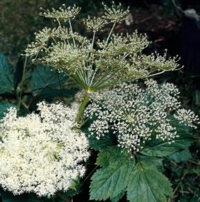 Angelica. Angelica Archangelica.De Agostini Picture Library